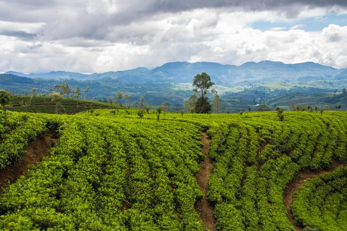 Wzgórza herbaciane